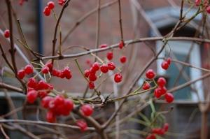 cranberry
